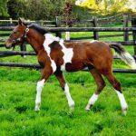 Foal de Tanana d'Ouilly