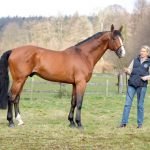 Kronos - Etalon du Haras d'Ouilly