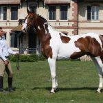 Stenthor - Etalon du Haras d'Ouilly